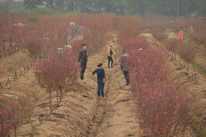 Dân trồng đào lo ngay ngáy vì đã cận Tết mà đào vẫn còn đỏ rực đầy vườn-8