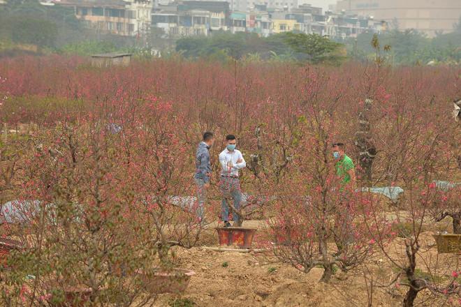 Dân trồng đào lo ngay ngáy vì đã cận Tết mà đào vẫn còn đỏ rực đầy vườn-9