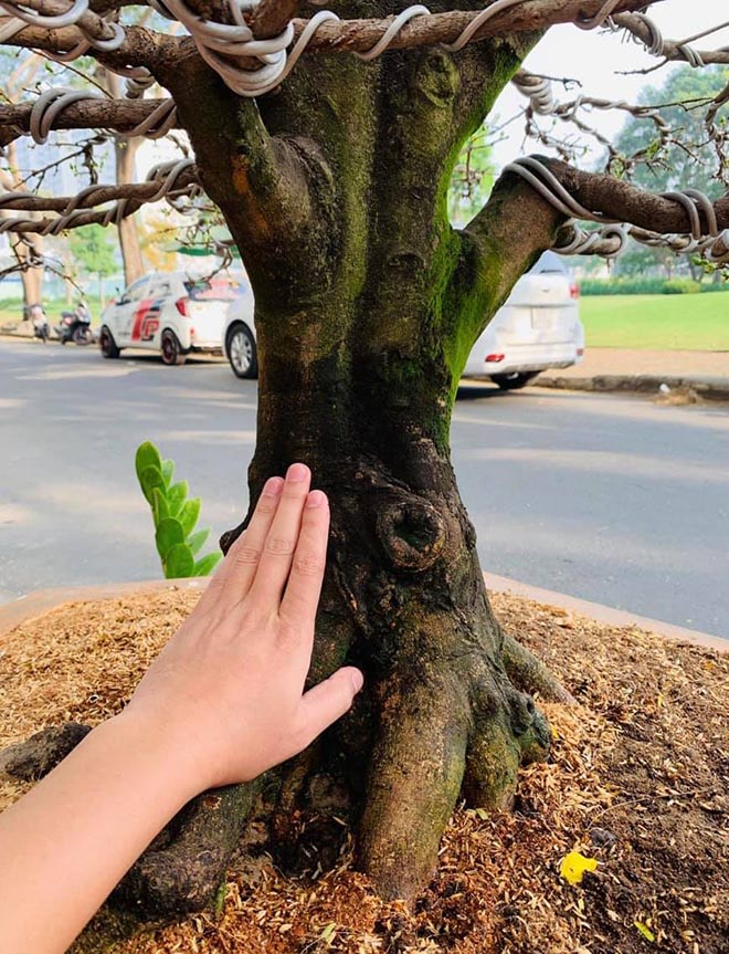 Hải Băng, Thành Đạt bức xúc vì bị trộm cây mai 50 triệu đồng-2