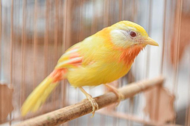 Tay cầm tiền tỷ, đại gia cũng không mua nổi chim ngũ sắc độc nhất Việt Nam-4