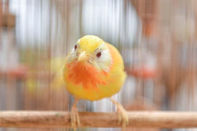 Tay cầm tiền tỷ, đại gia cũng không mua nổi chim ngũ sắc độc nhất Việt Nam-5