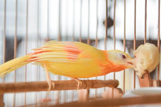 Tay cầm tiền tỷ, đại gia cũng không mua nổi chim ngũ sắc độc nhất Việt Nam-10