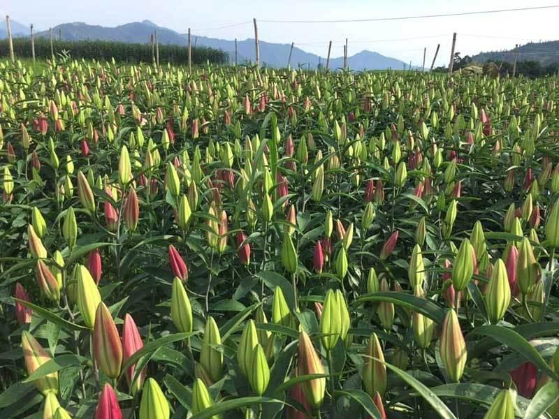 Hoa tươi giá rẻ như rau, chị em rủ nhau 'giải cứu' cho dân làng-1