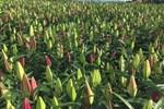 Hà Nội: Hoa tươi đổ đống đầy vỉa hè, nhà vườn bất lực nhìn giá lao dốc-5