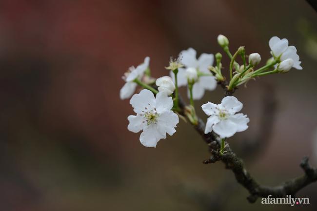 Hoa lê rừng xuống phố ngày đầu năm mới khiến người Hà Nội mê mẩn-1