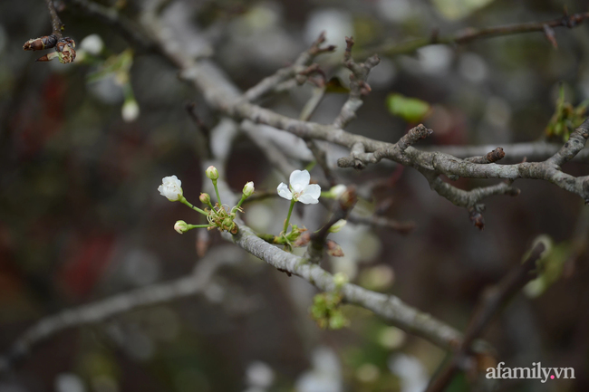 Hoa lê rừng xuống phố ngày đầu năm mới khiến người Hà Nội mê mẩn-15