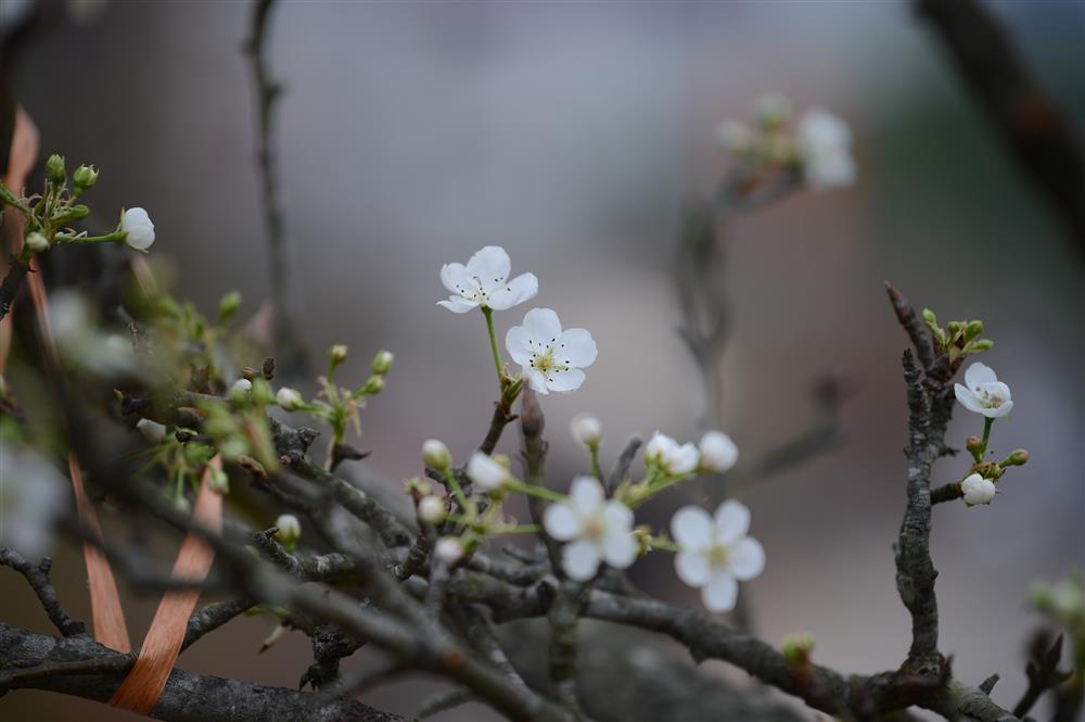 Hoa lê rừng xuống phố ngày đầu năm mới khiến người Hà Nội mê mẩn-10
