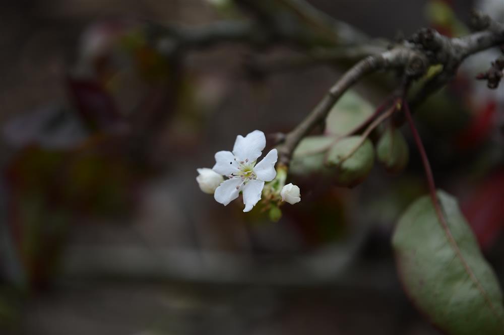 Hoa lê rừng xuống phố ngày đầu năm mới khiến người Hà Nội mê mẩn-11
