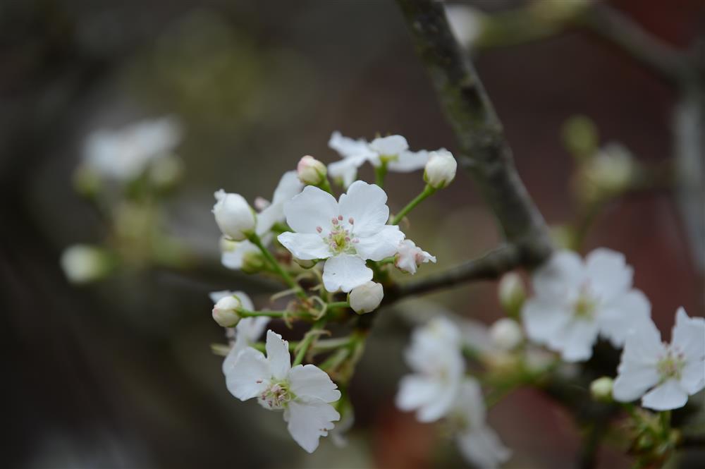Hoa lê rừng xuống phố ngày đầu năm mới khiến người Hà Nội mê mẩn-12