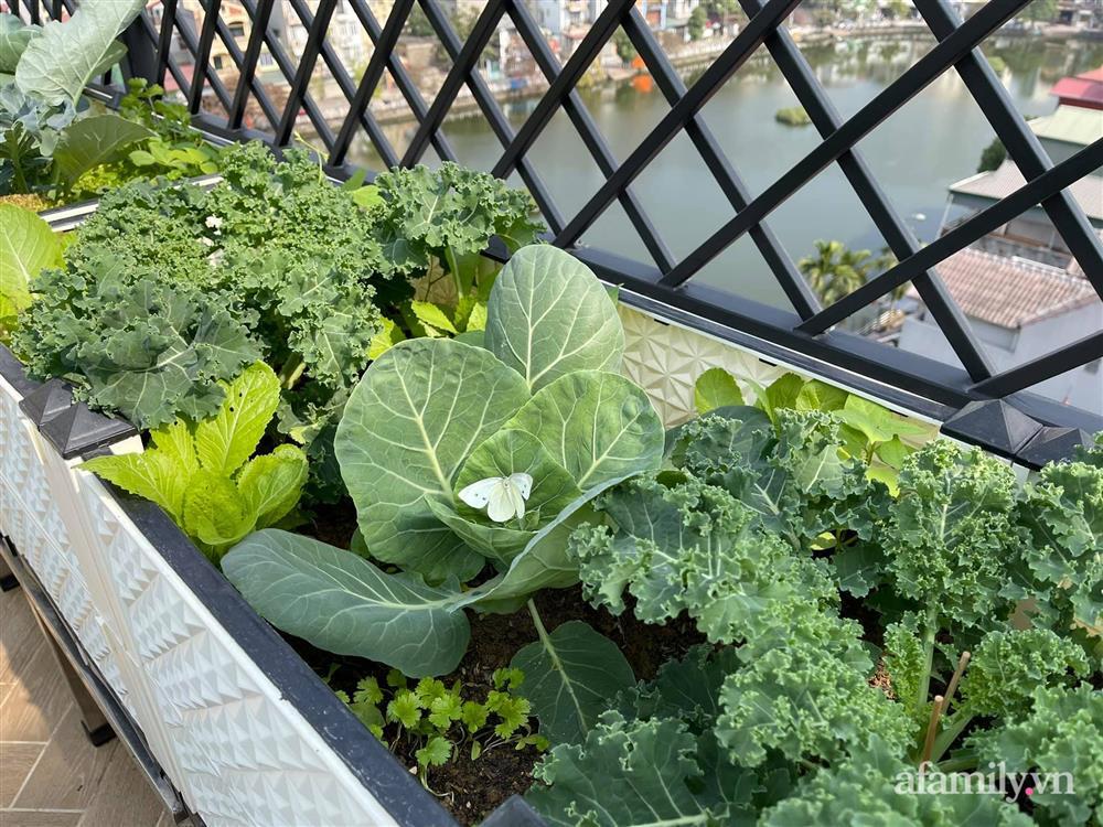 Sân thượng 83m² phủ kín rau quả sạch chỉ sau gần 1 tháng gieo trồng của cô giáo về hưu ở Hà Nội-3