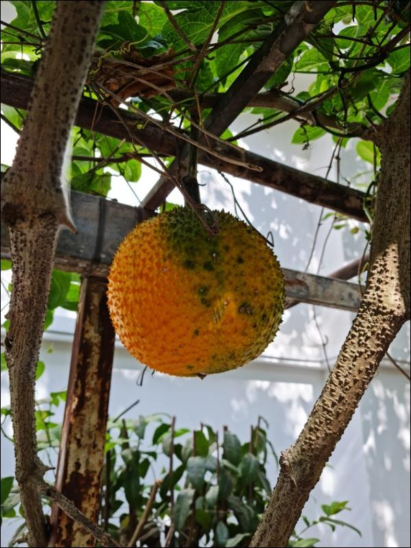 Nhà vườn hoành tráng của Người đẹp Tây Đô Việt Trinh qua Tết vẫn rộn ràng hoa trái, không gian đáng sống ai cũng mơ-4