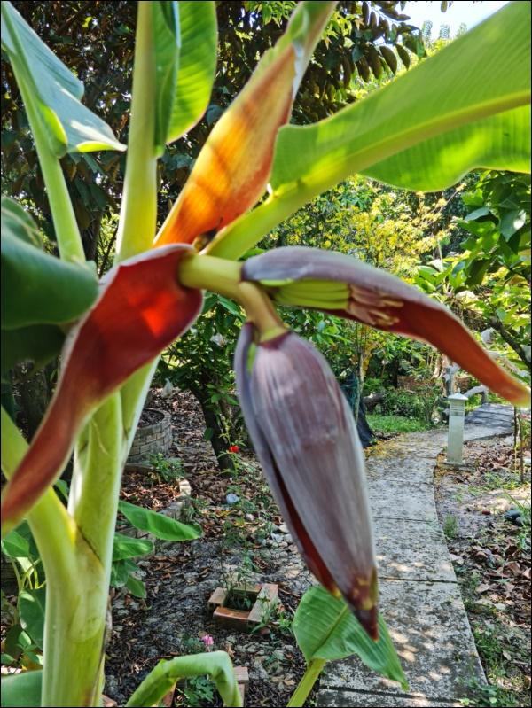 Nhà vườn hoành tráng của Người đẹp Tây Đô Việt Trinh qua Tết vẫn rộn ràng hoa trái, không gian đáng sống ai cũng mơ-6