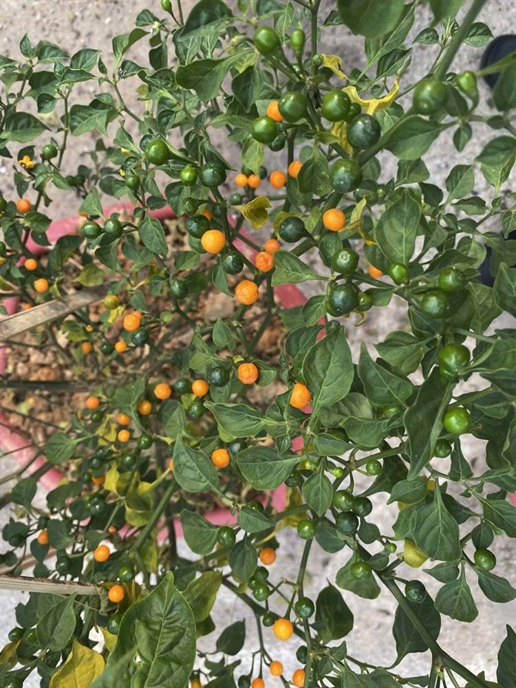 Khu vườn rộng lớn có cả loại ớt nửa tỉ đồng/1kg của Lý Hải - Minh Hà-4