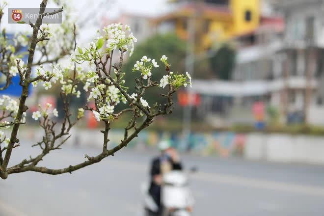 Ảnh: Hàng trăm người dân Hà Nội đổ xô đi mua hoa lê về chơi Rằm tháng Giêng-1