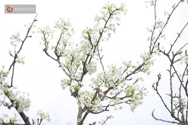 Ảnh: Hàng trăm người dân Hà Nội đổ xô đi mua hoa lê về chơi Rằm tháng Giêng-3