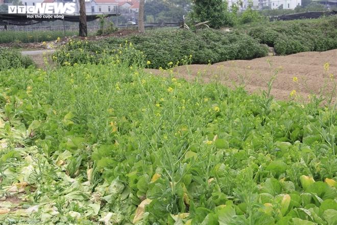 Hà Nội: Rau xanh rẻ như bèo, nông dân bỏ đầy đồng làm phân bón-1