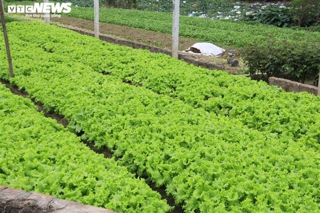 Hà Nội: Rau xanh rẻ như bèo, nông dân bỏ đầy đồng làm phân bón-10
