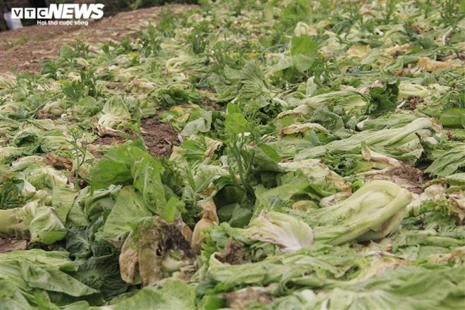Hà Nội: Rau xanh rẻ như bèo, nông dân bỏ đầy đồng làm phân bón-2