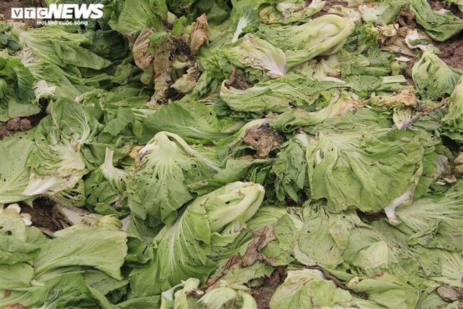 Hà Nội: Rau xanh rẻ như bèo, nông dân bỏ đầy đồng làm phân bón-3