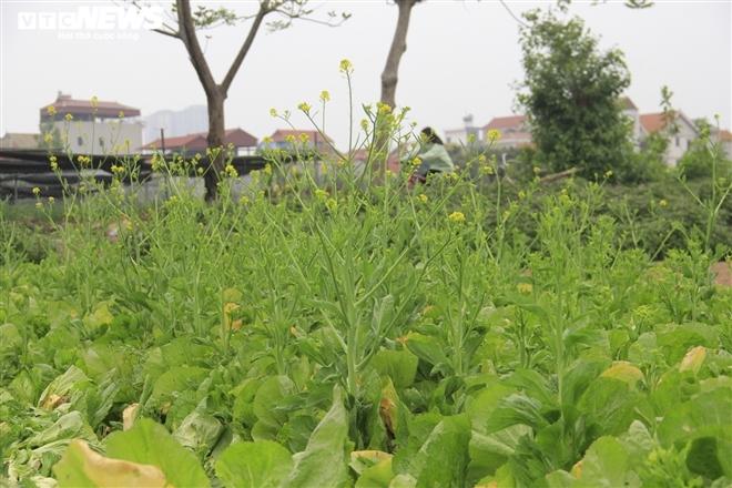 Hà Nội: Rau xanh rẻ như bèo, nông dân bỏ đầy đồng làm phân bón-4