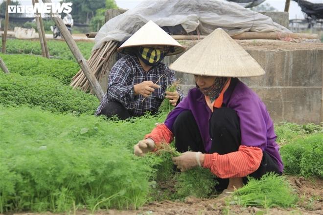 Hà Nội: Rau xanh rẻ như bèo, nông dân bỏ đầy đồng làm phân bón-5