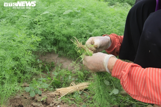 Hà Nội: Rau xanh rẻ như bèo, nông dân bỏ đầy đồng làm phân bón-6