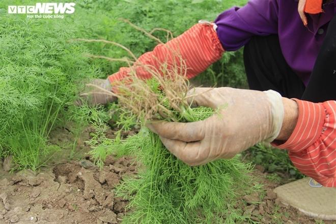 Hà Nội: Rau xanh rẻ như bèo, nông dân bỏ đầy đồng làm phân bón-8