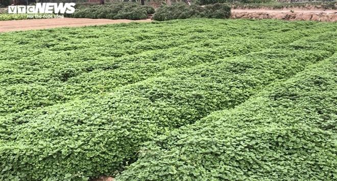 Hà Nội: Rau xanh rẻ như bèo, nông dân bỏ đầy đồng làm phân bón-9