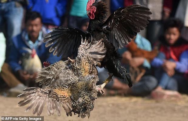 Chọi gà bất hợp pháp, người đàn ông bị gà cưng đá vào háng tử vong-3