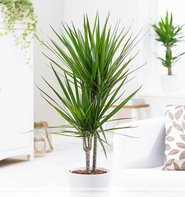 9 loại cây thanh lọc không khí trong nhà tốt nhất mà lại rất dễ trồng-8