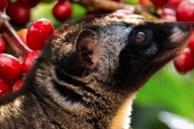 Nuôi loài đặc sản núi rừng, cho ăn cháo gà, bán 2 triệu/kg, nông dân thu 2 tỷ đồng mỗi năm