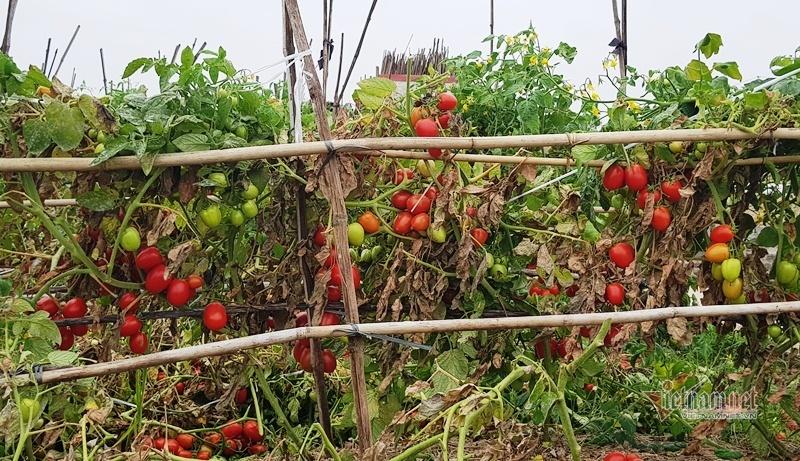 1.000 đồng 3kg cà chua, vứt thối đỏ ruộng, đổ cho cá ăn-1