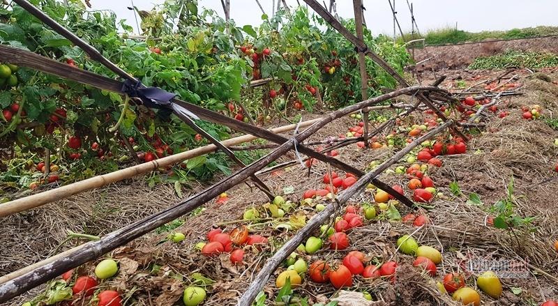 1.000 đồng 3kg cà chua, vứt thối đỏ ruộng, đổ cho cá ăn-2