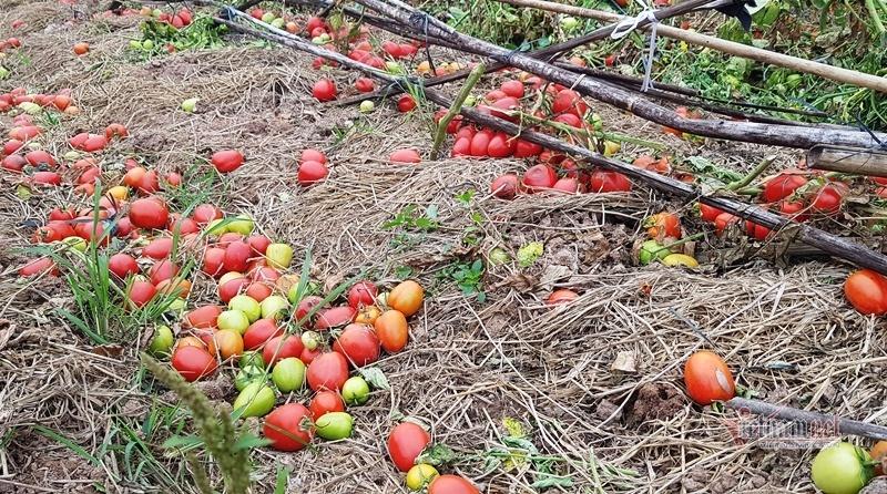 1.000 đồng 3kg cà chua, vứt thối đỏ ruộng, đổ cho cá ăn-4