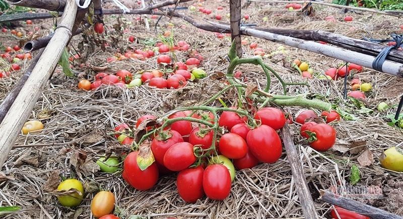 1.000 đồng 3kg cà chua, vứt thối đỏ ruộng, đổ cho cá ăn-5