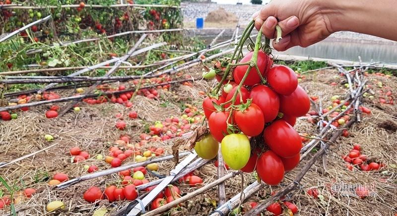 1.000 đồng 3kg cà chua, vứt thối đỏ ruộng, đổ cho cá ăn-6