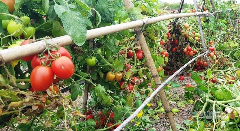 1.000 đồng 3kg cà chua, vứt thối đỏ ruộng, đổ cho cá ăn-10