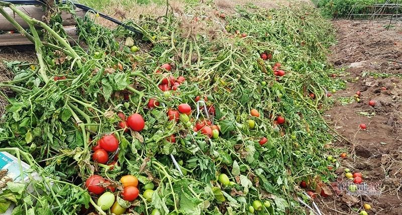 1.000 đồng 3kg cà chua, vứt thối đỏ ruộng, đổ cho cá ăn-7