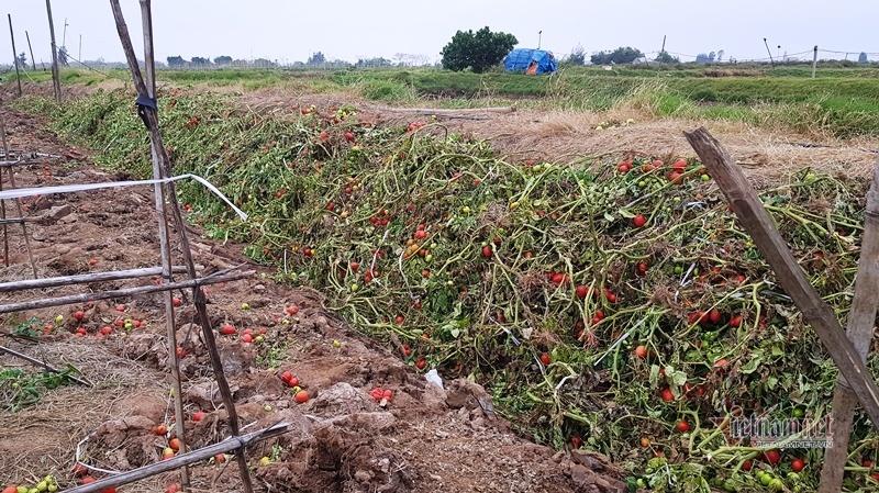 1.000 đồng 3kg cà chua, vứt thối đỏ ruộng, đổ cho cá ăn-8