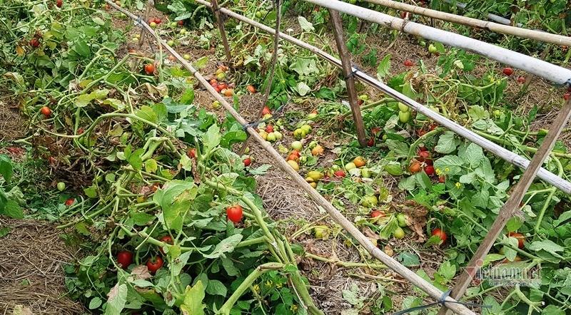 1.000 đồng 3kg cà chua, vứt thối đỏ ruộng, đổ cho cá ăn-9