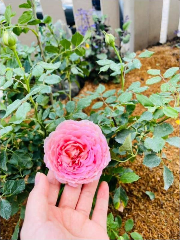 Biệt thự triệu đô hoành trángcủa Nhật Kim Anh: Bốnmùa ngập tràn hoa tươi từ nhà ra ngõ-14