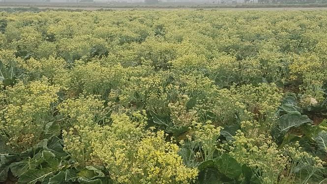 Xót xa cảnh súp lơ ở Hải Dương nở hoa vàng cả cánh đồng-1