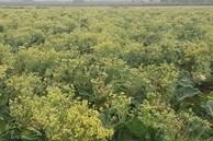 Xót xa cảnh súp lơ ở Hải Dương nở hoa vàng cả cánh đồng