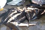 Loại cá đặc sản ở Việt Nam bán trên chợ mạng giá siêu rẻ, người dân tranh thủ ăn sang-5