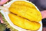 Màn phối hợp thu hoạch sầu riêng từ trên cây cao-1