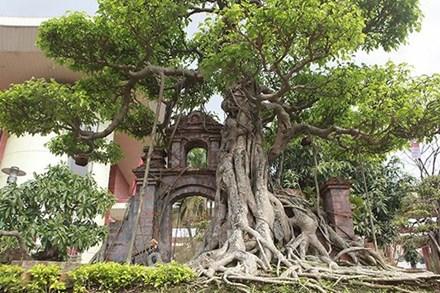"""Mãn nhãn cây sanh """"hồn quê đất Việt"""", khách trả 6 tỷ chủ nhân chưa bán"""