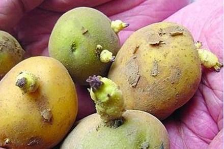 Khoai tây nảy mầm có độc nhưng dinh dưỡng trong tỏi lại tăng gấp đôi, vậy thực phẩm mọc mầm nào không ăn được?