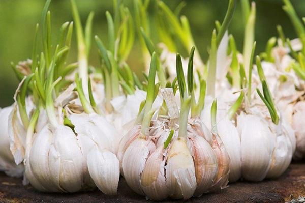 Khoai tây nảy mầm có độc nhưng dinh dưỡng trong tỏi lại tăng gấp đôi, vậy thực phẩm mọc mầm nào không ăn được?-2