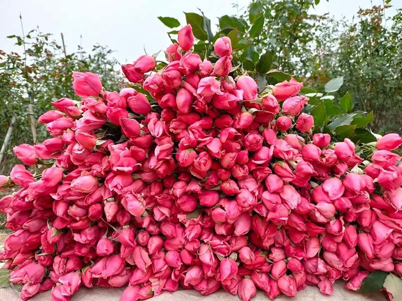 Hoa hồng lại rẻ như cho, ngồi nhà chốt bán 4 vạn bông/ngày-1