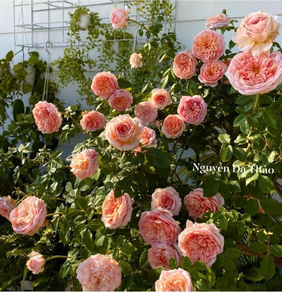 Bà xã Quyền Linh chia sẻ bí quyết trồng hoa hồng-4